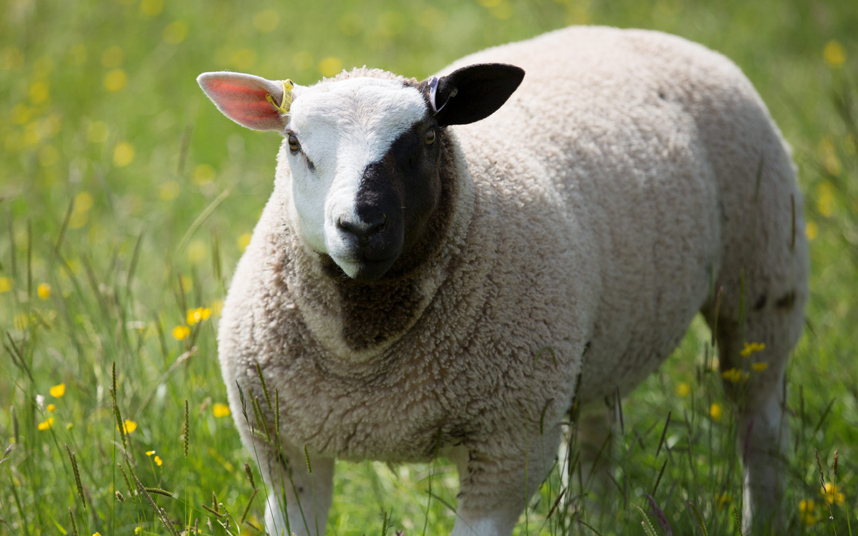 Sheep The Phantom